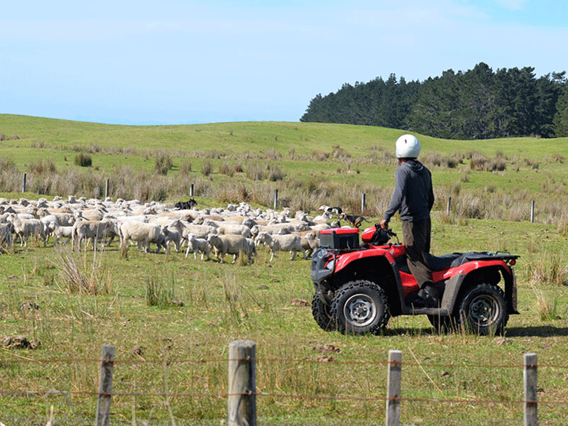 Schaffarm in Neuseeland